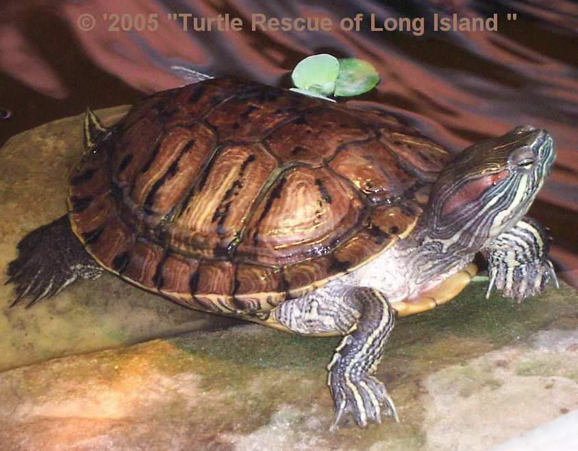 Grown Slider Turtle Full Red Ear