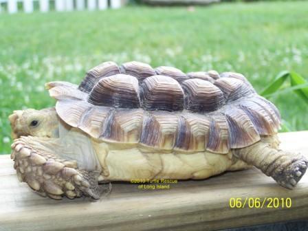 Sulcata Tortoise Enclosure Sulcata. kept in a glass tank,